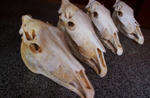 Clean Horse Skulls